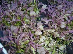 H1 Roter Rucola BIO-Pflanze