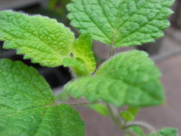 H4 Orangenmelisse BIO-Kräuterpflanze