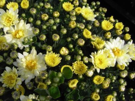 BIO-Kräuterpflanze Chinesische Tee-Chrysantheme