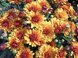 F3 BIO-Blumen Garten-Chrysantheme orangerot