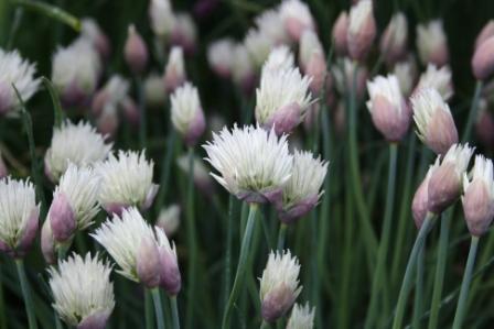H6 Schnittlauch ELBE BIO-Kräuterpflanze