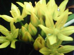 H6 Goldlauch BIO-Kräuter-Pflanze