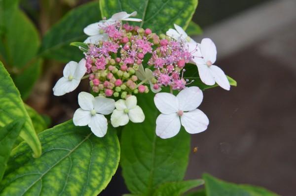 H11 Japanische Tee-Hortensie, Amacha-Tee BIO-Kräuterpflanze