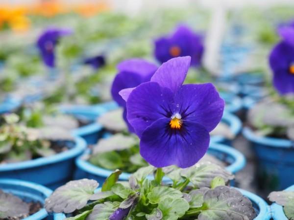 BIO-Blumen Hornveilchen dunkelblau 8 Stück