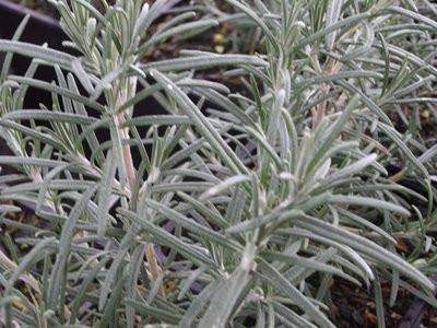 H10 Rosmarin winterhart  Punta di Canelle BIO-Topfkräuter-Pflanze