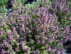 H8 Thymian Tabor BIO-Kräuterpflanze