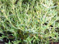 H8 Thymian Kugel- Faustinoi BIO-Kräuter-Pflanze