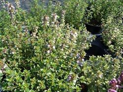 H8 Zitronenthymian BIO-Kräuterpflanze