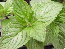 F2/H9 BIO-Kräuterpflanze Minze Multimentha Pfefferminze