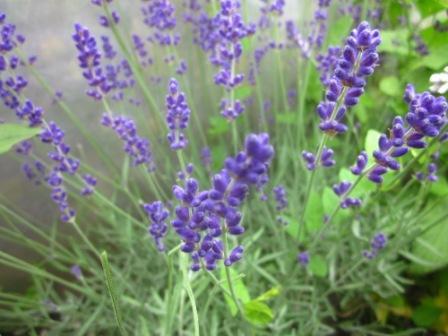 BIO-Kräuterpflanze Echter Lavendel 'Hidcote Blue'
