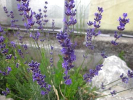 H4 Echter Lavendel Siesta BIO-Kräuterpflanze