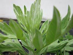 F1/H4 Japanisches Moxakraut BIO-Heilkräuter-Pflanze