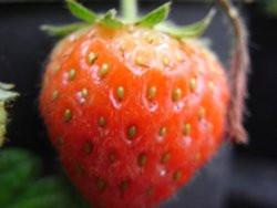 F2 BIO-Pflanze Erdbeere Mieze Schindler