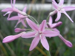 H4 Südseeknoblauch (Zimmerknoblauch) lila BIO-Kräuter-Pflanze