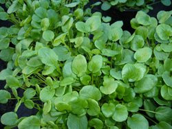 H1 BIO-Kräuterpflanze Barbarakresse, Winterkresse