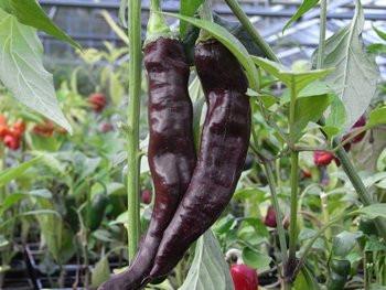 BIO-Pflanze Pasilla Chili leicht scharf