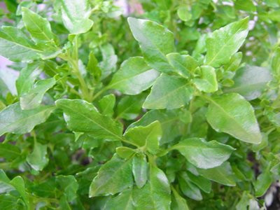 BIO-Basilikumpflanze Provence-Basilikum