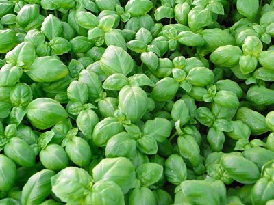 BIO-Pflanze Basilikum Genoveser