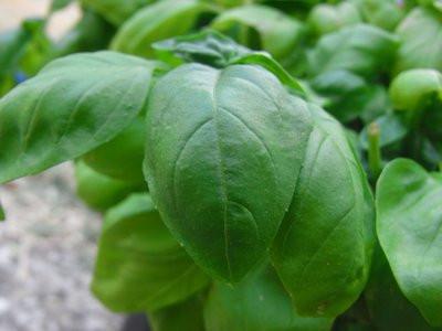 BIO-Pflanze Basilikum Mammuth