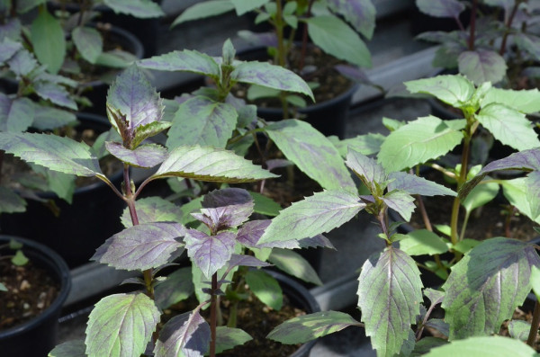 H3 BIO-Basilikumpflanze Ararat-Basilikum