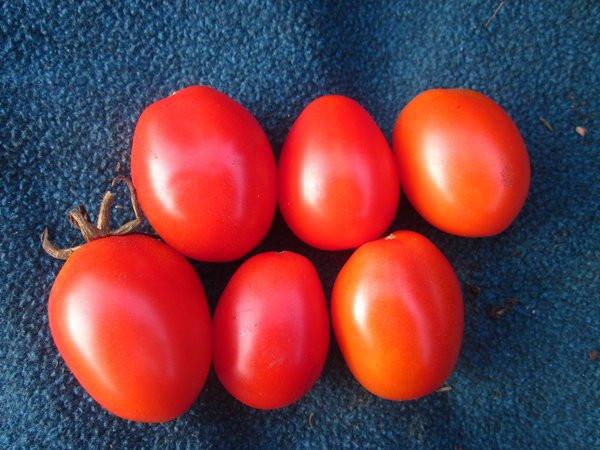 BIO-Pflanze Ampeltomate olivenfrüchtig Small Egg