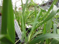 FL1 Mariengras BIO Räucherpflanze