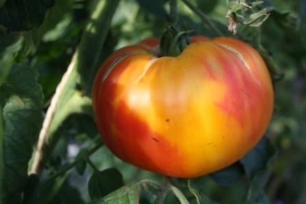 BIO-Pflanze Tomate Fleisch- Ananas Alte Tomatensorte