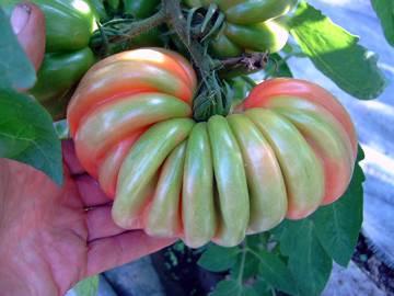 BIO-Pflanze Fleisch-Tomate Gezahnte Bührer Keel Alte Tomatensorte