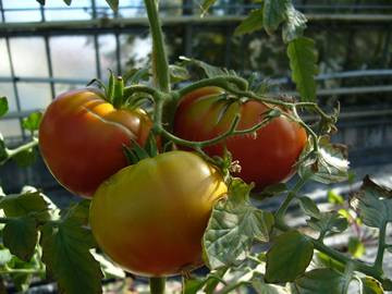 BIO-Pflanze Fleisch-Tomate Marmande Alte Tomatensorte