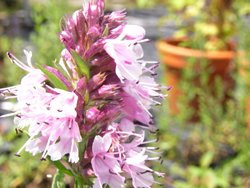 FL1 Ysop rosablühend BIO-Kräuterpflanze