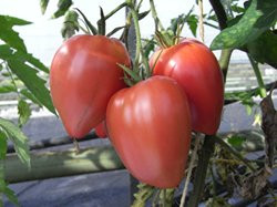 BIO-Pflanze Tomate Ochsenherz früh Alte Tomatensorte