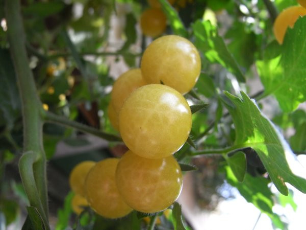 BIO-Pflanze Kirsch-Tomaten Bianca Alte Tomatensorte