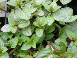 BIO-Kräuterpflanze  Schokominze Pfefferminze