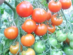 BIO-Pflanze Tomate rund Karos