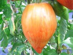 BIO-Pflanze Flaschen-Tomate Striped Roman Alte Tomatensorte