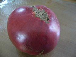 BIO-Pflanze Fleisch-Tomate Olena Ukraina Alte Tomatensorte