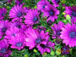 BIO-Blumen Kapmargeriten Lila