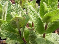 F2/H9 BIO-Kräuterpflanze Minze Apfelminze