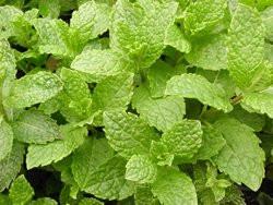 BIO-Kräuterpflanze Minze Hemmingway Minze