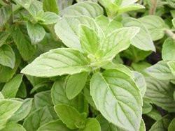 F2/H9 BIO-Kräuterpflanze Minze Hillery's Sweet Lemon Mint
