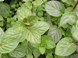 F2/H9 BIO-Kräuterpflanze Minze Kärtner Minze