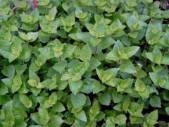 BIO-Pflanze Basilikum Strauch- Gorbatschow Russisches Strauchbasilikum
