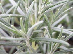 H10 Rosmarin Primerly Blue BIO-Topfkräuter-Pflanze
