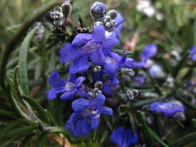 H10 Rosmarin Blue Lagoon BIO-Topfkräuter-Pflanze