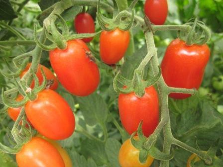 alte tomatensorte bio kr uter aus kempten von der g rtnerei herb. Black Bedroom Furniture Sets. Home Design Ideas