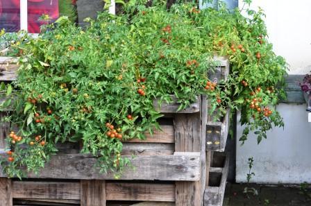 wildtomate tomate mit weicher schale alte tomate bio kr uter aus kempten von der g rtnerei herb. Black Bedroom Furniture Sets. Home Design Ideas