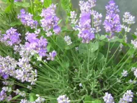 h4 6 lavendel echter 39 blue cushion 39 bio kr uterpflanze. Black Bedroom Furniture Sets. Home Design Ideas