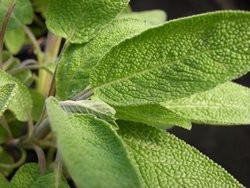 H1 Salbei Gartensalbei BIO Topfkräuter