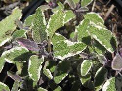 H6 S Tricolor Salbei BIO-Kräuterpflanze