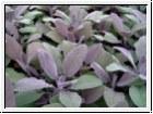BIO-Kräuterpflanze Purpursalbei